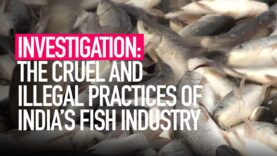 INVESTIGATION: The Cruel and Illegal Practices of India's Fishing Industry