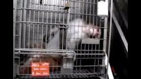 PETA Undercover Investigation at ONPRC