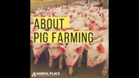 The truth about pig farming