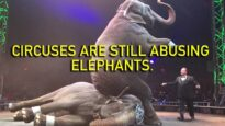 UniverSoul Circus Still Abusing Animals