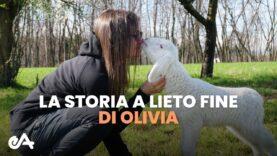 Agnello salvata dal macello: la storia a lieto fine di Olivia