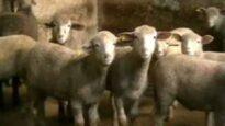 Carne da macello -  o animali da salvare? (capitolo 6 di 8: agnelli)
