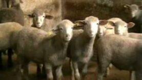 Carne da macello –  o animali da salvare? (capitolo 6 di 8: agnelli)