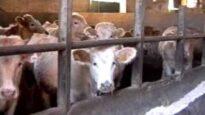 Carne da macello –  o animali da salvare? (capitolo 5 di 8: bovini)