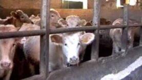 Carne da macello -  o animali da salvare? (capitolo 5 di 8: bovini)