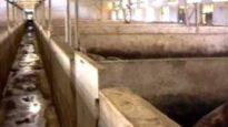 Carne da macello –  o animali da salvare? (capitolo 3 di 8: maiali)