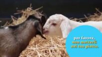 Ebony e Ivory, due capretti salvati