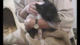 Freddie, maialino sperduto e salvato da Animal Place