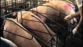 Investigazione negli allevamenti di maiali (anteprima)