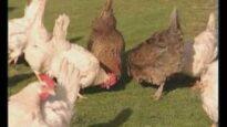L'etologia di galli e galline: impariamo a conoscerli