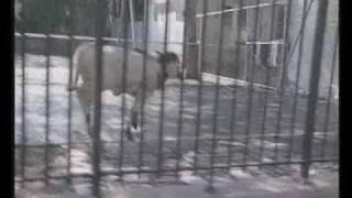 Queenie, vitellina fuggita dal macello