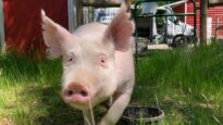 Rescued Pig Zoomies!