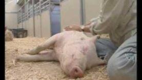 Susie e Valerie, maialine salvate da un laboratorio di vivisezione