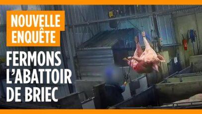 Abattoir de truies de réforme de Briec - groupe Les mousquetaires