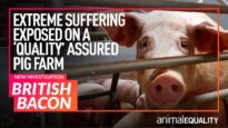 """Animal Equality Investigation: Pigs Hammered to Death on """"High Welfare"""" UK Farm"""