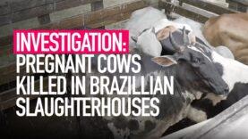 INVESTIGATION: Pregnant Cows Killed in Brazillian Slaughterhouses
