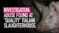 INVESTIGATION: Cruelty Found at Celebrated Pig Slaughterhouse in Italy