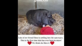 Meet newly rescued potbelly pig Lulu & her friend Elmo! This is lulu's first time ever in straw!
