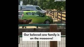 This beloved cow family is on the mooooove!