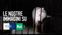 Allevamento degli orrori: le immagini sul TGR Emilia Romagna!