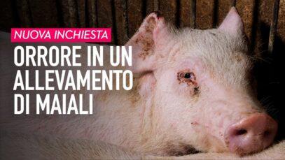 Dietro il Made in Italy: orrore in un allevamento di maiali in Lombardia