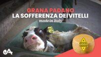 Grana Padano la sofferenza dei vitelli made in Italy | Essere Animali