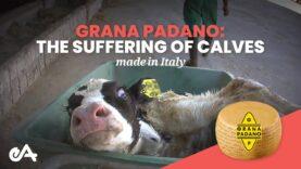 Grana Padano: the suffering of calves made in Italy | Essere Animali