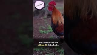 Heartwarming Chicken Facts #Shorts