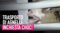 Il crudele trasporto di agnelli dall'Est Europa all'Italia!