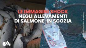 immagini shock: indagine negli allevamenti di salmoni in Scozia | Essere Animali