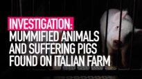 INVESTIGATION: Mummified Animals and Suffering Pigs Found on Italian Farm