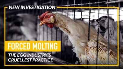 INVESTIGATION: The Egg Industry's Cruel Practice of Forced Molting