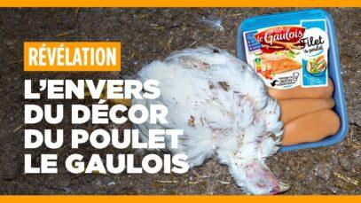 L'envers du décor du poulet Le Gaulois