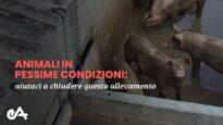 Maiali in pessime condizioni | chiudiamo l'allevamento in provincia di Pavia