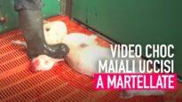 Maiali uccisi a martellate in un allevamento intensivo in Gran Bretagna