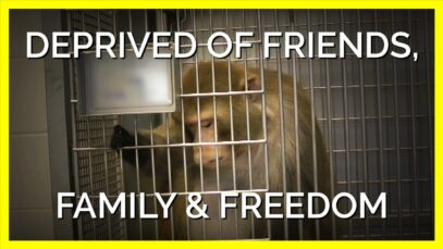 Monkeys Imprisoned at UW Are Deprived of Friends, Family, and Freedom