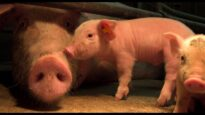 Motherhood: la crudele maternità in gabbia delle scrofe negli allevamenti intensivi