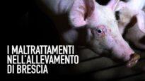 NUOVO VIDEO CHOC: maltrattamenti in un maxi-allevamento di maiali in Lombardia