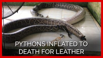 PETA Asia Investigation: Pythons Inflated to Death for Leather