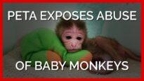 PETA Exposes Abuse of Baby Monkeys