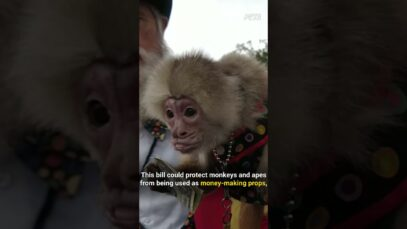 Primates are not pets, photo props, or any other source of human entertainment. #Shorts