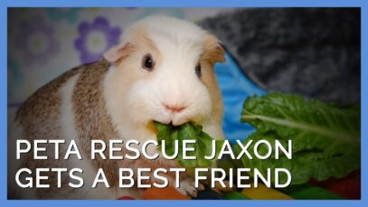 These Two Adopted Guinea Pigs Become Best Friends