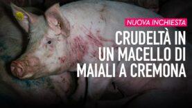 Video CHOC: Dentro il macello di maiali a Cremona