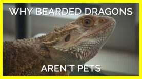 """Why Bearded Dragons Aren't """"Pets"""""""
