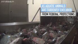 Animals Killed While Conscious: U.S. Catfish Investigation