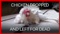 Chicken Dropped on the Floor & Left to Die on Egg Farm
