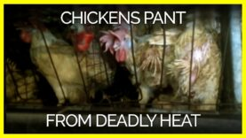 Chickens Panted Like Dogs Because of Extreme Heat on Egg Farm