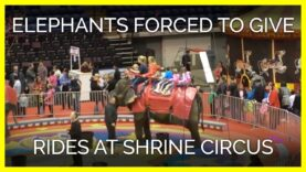 Circus Forced Jenny the Elephant to Give Rides by Pulling on Her Trunk
