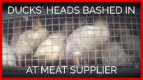 Ducks' Heads Bashed in at Slaughterer