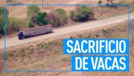 Escándalo en Brasil: sacrifican vacas embarazadas